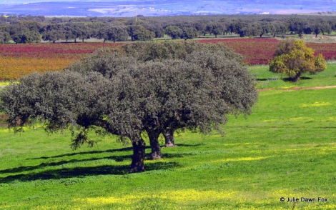 Cork oak trees, Alentejo, Portugal